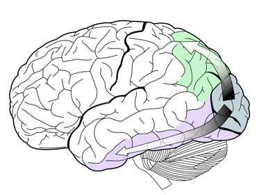 An illustration of two visual pathways in the brain: the dorsal stream (green) and the ventral stream (purple). Dicarlo investigated how activity in the ventral processing stream supports visual object recognition, focusing particularly on neuronal spiking in higher levels of this region. (Image Source: Wikimedia Commons)