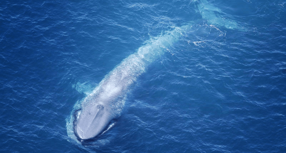 Whale Size Correlates with Feeding Pattern Efficiency