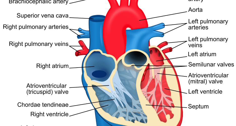 An International Team of Researchers Just Solved One of the Biggest Mysteries of the Human Heart