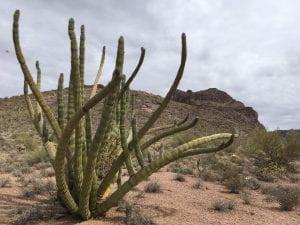 cactus growing in the desert