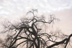 elm_tree_in_front_of_Collis