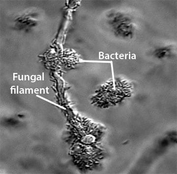 Bacteria-fungal communities