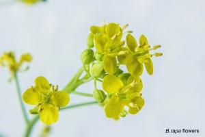 B rapa flowers