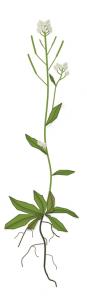 arabidopsis pic