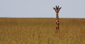 giraffegrass_small