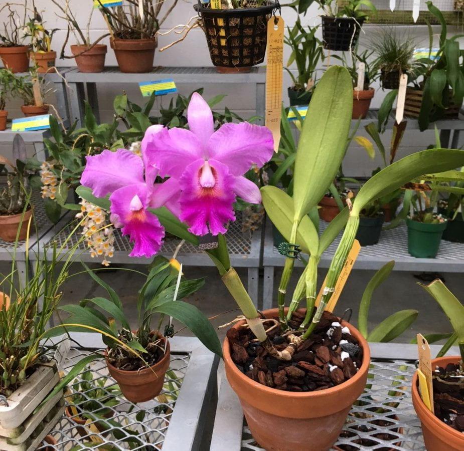 Fushcia orchids