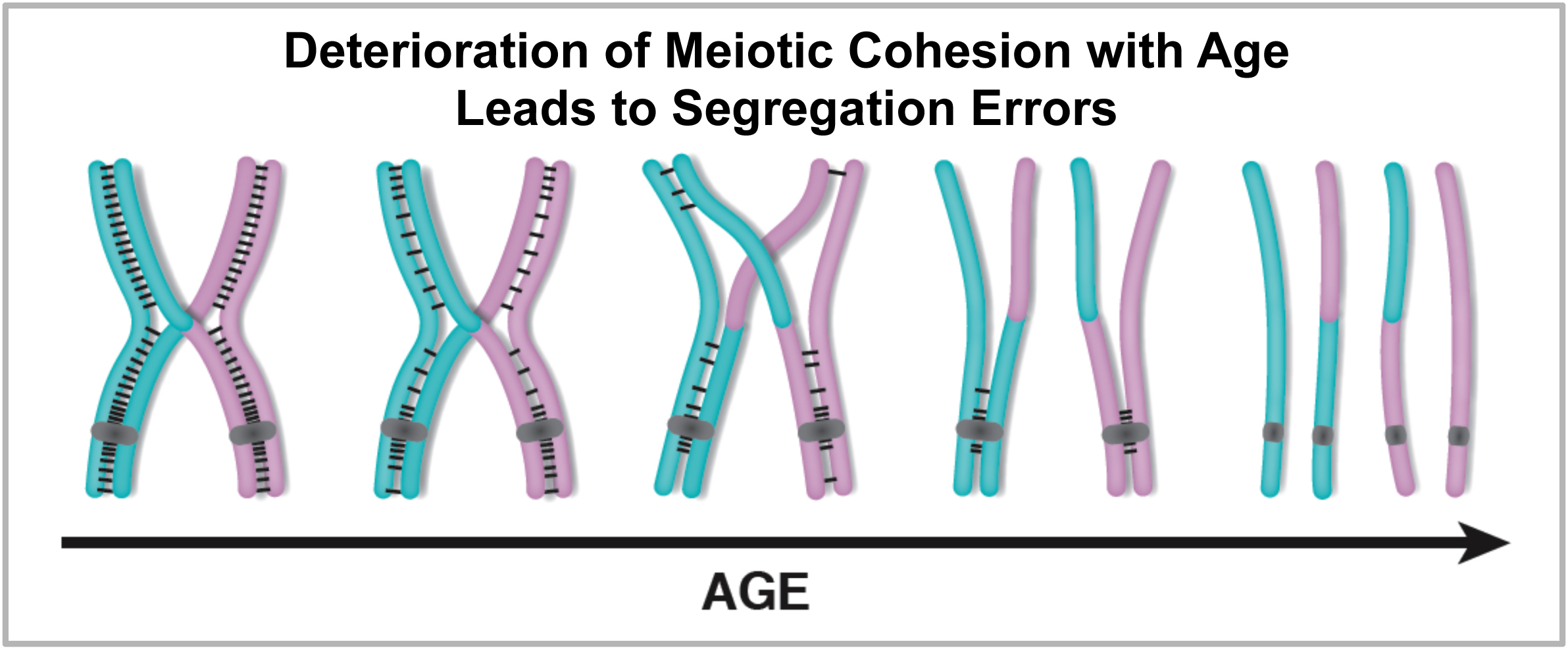 aging cohesion