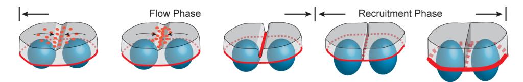 Myosin flow during cellularization