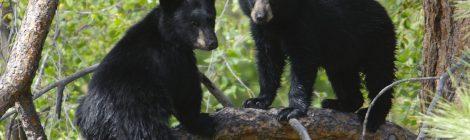 keywords: stock, protect wildlife, black bear      Confirmed as wild 07/02/15