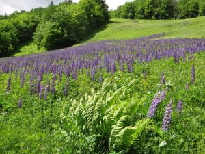 Lupines below the ski trails in summer
