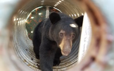 A Guide to The American Black Bear