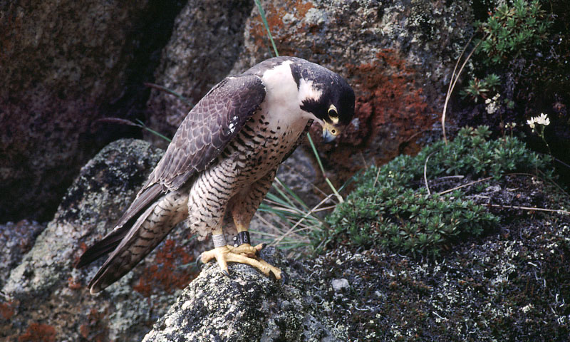 It's like they don't want to be found: The difficulty with locating peregrine falcon nests in the mountains of Virginia