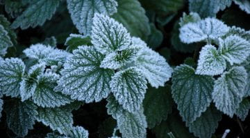 Leaf-inspired Surface Prevents Frost Formation