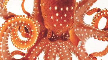 BHL Octopus