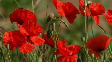 Poppies, FreeImages.com