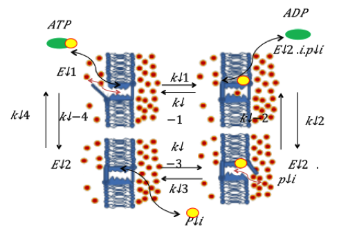(C) Surface enhanced Raman scattering enhancement factor of gold FON calculated with FDTD.