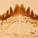 Photomicrograph of chironomid genus Heterotrissocladisus.