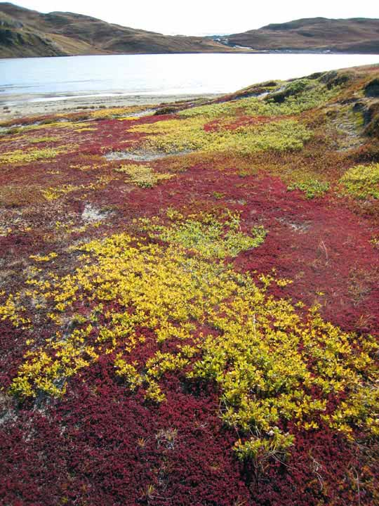 Fall colors near Kangerlussuaq.
