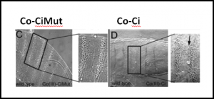 Injection of Co(III)-Ci but not Co(III)-CiMut is able to phenocopy loss of ci function in vivo. Drosophila cuticle mounts showing denticle belt patterning of 48 h old embryos. Wild-type embryos between 0 and 45 min old were microinjected with 1μM (C) Co(III)-CiMut or (D) Co(III)-Ci, allowed to develop for 48 h, mounted and imaged by phase contrast light microscopy. Arrow points to denticle belt fusion characteristic of a ci mutant.