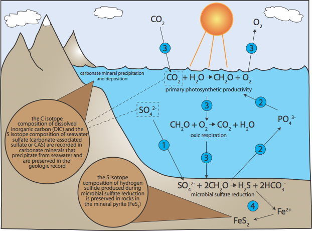 Figure 1. Schematic illustration of the role sulfur plays in regulating the biogeochemical cycles of carbon, phosphorus and oxygen in the low sulfate oceans that existed for much of Earth history. An increase in sulfate levels stimulates microbial sulfate reduction (1). As microbes degrade organic matter (CH2O) during microbial sulfate reduction, phosphorus is released (2) and made available for primary production (3). The subsequent increase in primary production results in elevated rates of carbon burial and oxygen production and a drawdown of atmospheric CO2 (3). Additionally, enhanced organic carbon export to marine bottom waters and sediments increases deep ocean oxygen demand (via oxic respiration) and rates of microbial sulfate reduction and pyrite burial (4). The relative importance of primary production and microbial sulfate reduction, as well as marine sulfate levels, can be reconstructed using the carbon and sulfur isotope composition of carbonate rocks and the sulfur isotope composition of pyrite.