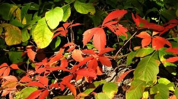 early autumn leaves by liz west https://www.flickr.com/photos/calliope/48979068/in/photolist-5k2LG-geLWgn-p9vuP1-dsLCoT-9cEqeG-dqkhqC-aoUaXV-74Cs6V-dkQ5KM-JkfbeQ-pBgVNg-h23erf-deV4SW-hmQ5w4-oWY9Rt-pBnrLJ-8PqRny-aChtRo-aAgK1D-72zgDx-5yMccF-dkQ1gK-ajPY9s-3ygKpr-qaYzW5-8DhCDN-dj4VFb-zpzBpW-ajMkCX-5yARj-dkQnGi-p8PvS2-dxMzwv-apGm3h-BLrXoH-e1ee3K-fQYs1f-p6YHdy-5CvuPV-BRdorC-g1fs8D-zgL2Vy-gZ1oN9-2vVkpu-dwB4eU-4cWSo7-pUFXSK-rLY5Ds-zsKu7r-zanndk