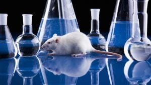 white lab rat with colored beakers