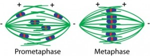 Figure 3: Model of chromosome congression on acentrosomal spindles. Microtubule bundles (green) ensheath homologous chromosome pairs (blue). A ring of the chromokinesin KLP-19 (red) forms around the center of each chromosome pair, and provides a force to move chromosomes towards microtubule plus ends. Chromosomes therefore align in the center of the spindle, where microtubule plus ends overlap.