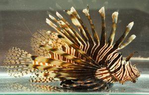 Lionfish FWC 2