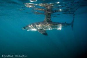 White-Shark-S.-Africa-MScholl-White-Shark-Trust-400x267