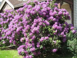 Rhodo Full Bloom (2)