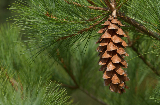 seed propagation of eastern white pine 4 plant propagation methods