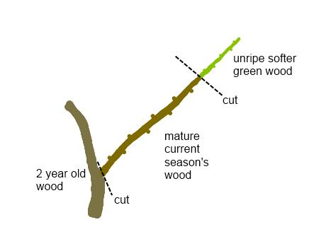 Deciduous Shrub Cuttings Jacob Kulp Horticulture 202