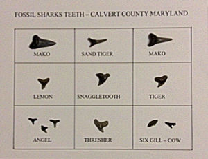 Sharks Teeth at Calvert Cliffs
