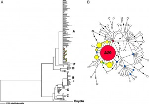 Minimum-spanning network of the main dog clade (clade A). Sequence types (circles) and empty nodes (solid dots) are separated by one mutational step (substitutions; indels are not shown). The mtDNA type indicated by bold lines has four shortest links (with a length of three mutational steps) to other mtDNA types, but two of these are not shown to simplify the figure. Yellow, unique dingo mtDNA type; red, type found in both dingo and dog; blue, type found in dogs in Indonesia, the Philippines, or Malaysia; green, unique New Guinea type. Squares denote wolves. Areas of red and yellow circles are proportional to frequencies among dingoes, but the area of A29 is reduced by 50%. (Savolainen et al, 2004).