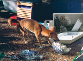 A Dingo opening and stealing food from a campsite cooler. Photo by NPRSR.