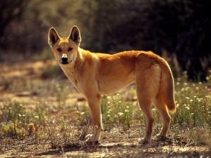 """Left: Dingo, Photograph by Jason Edwards (""""National Geographic: Animals"""")"""
