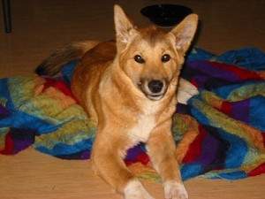 Lindy, a genetically pure pet dingo owned by Nic Papalia of Australia. Photos courtesy of Nic Papalia and the Dog Breed Information Center (Dingoes, 2013).