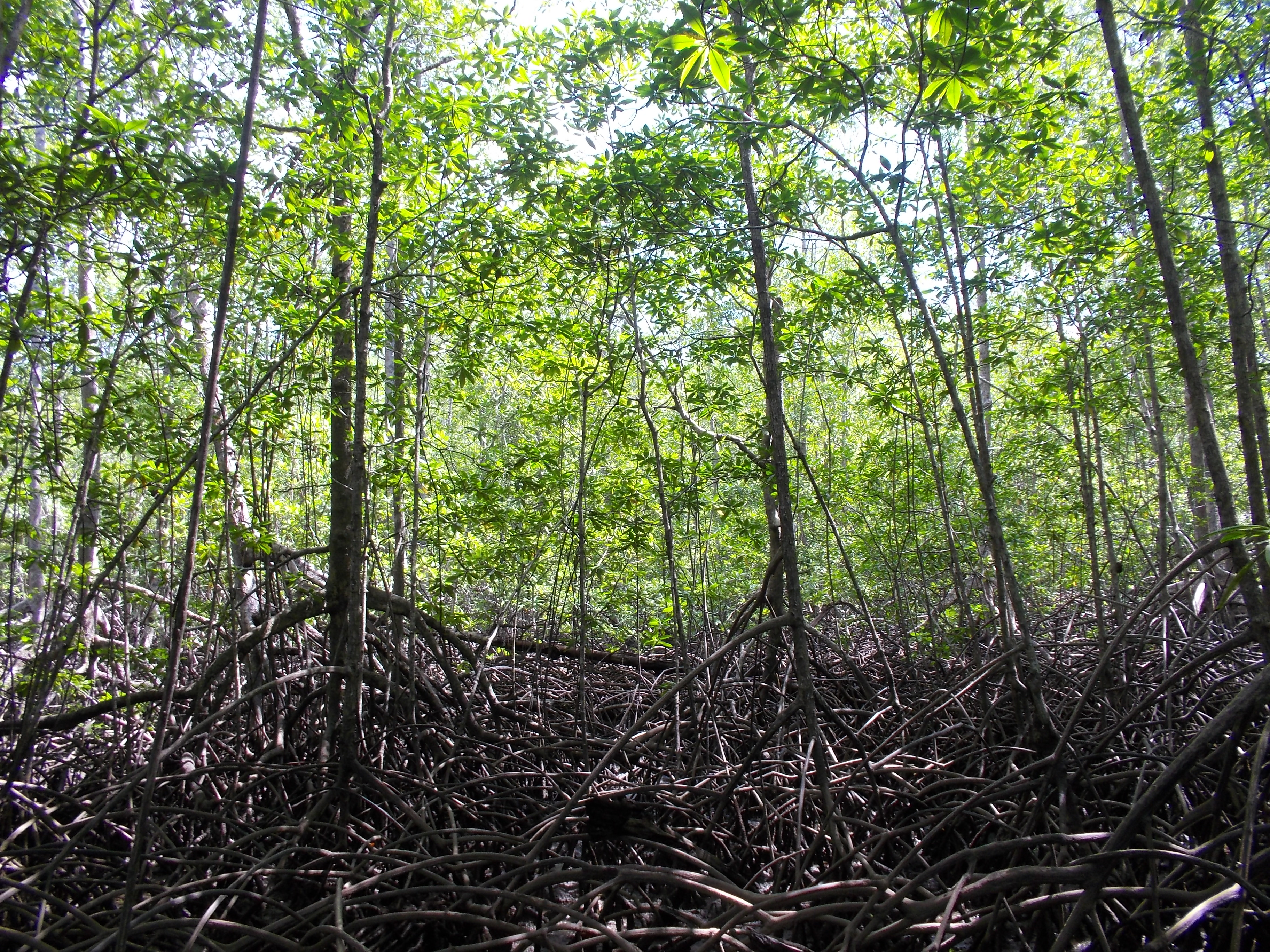 Mangrove Forests and Rainforests: Arrival at Campanario ...  Mangrove Forest...