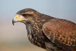 Harris's hawk (Photo by C. Delgada, Wikimedia Commons)
