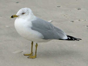 Ring billed gull, Photo by D. Daniels Wikimedia Commons