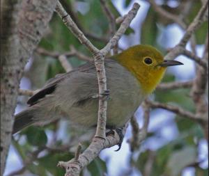 Yellow Headed Warbler