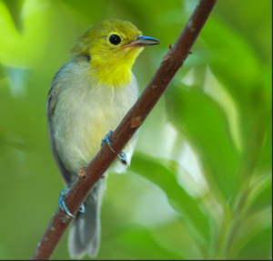Warbler with green background