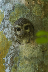 Cuban Screech Owl in a hole in a tree.