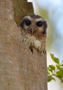 Cuban Screech Owl in a broken tree