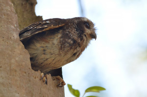 Cuban Screech Owl perched