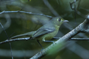 Small Cuban Vireo standing on a branch entangled within small twigs. (Creative Commons) (Francesco Veronesi)