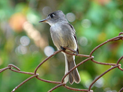 Cuban Pewee sitting on top of a fence