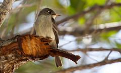 Cuban Pewee sitting on a perch