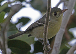 Cuban Vireo perched on a branch looking into the distance. (Creative Commons) (Jerry Oldenettel)