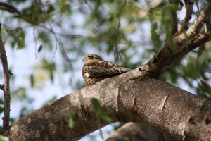 Antillean Nighthawk sitting on a branch